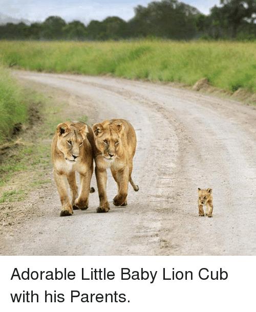Adorable Little Baby Lion Cub Meme