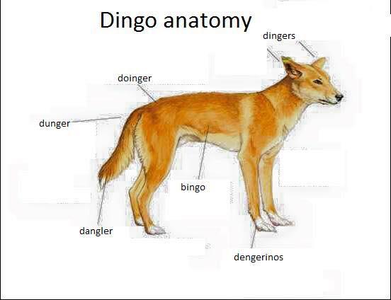 Dingo Anatomy Dunger Doinger Dingo Meme