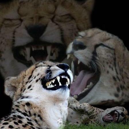 Funny Cheetah Meme