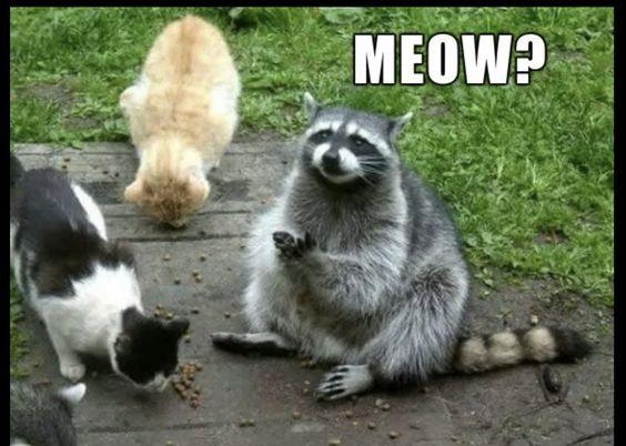 Meow Raccoon Meme