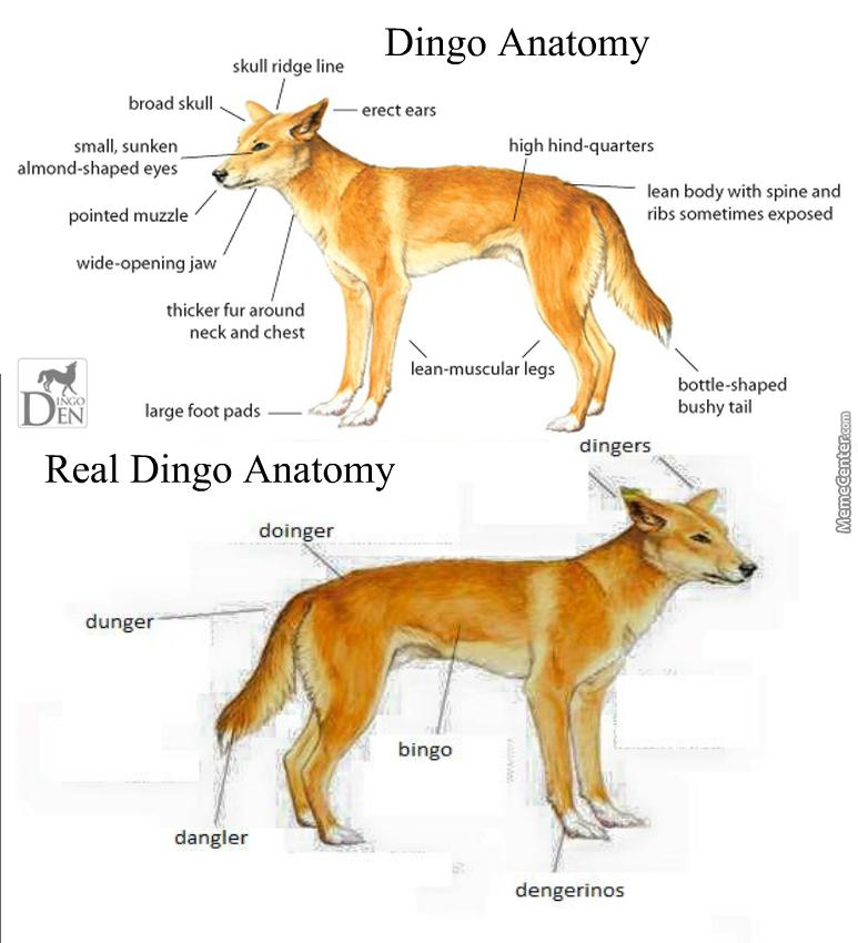 Skull Ridge Line Erect Ears Dingo Meme