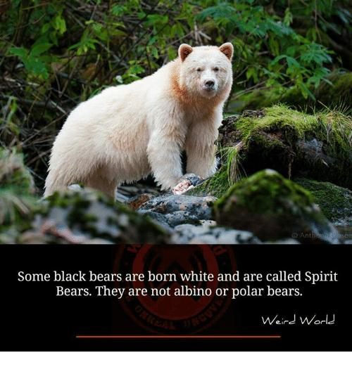Some Black Bears Are Born Black Bear Meme