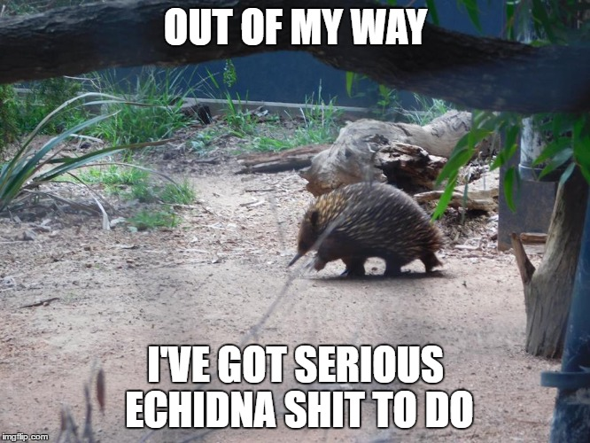Out Of My Way Echidna Meme