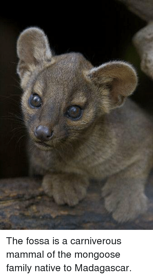 The Fossa Is A Mongoose Meme